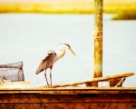 Great Blue Heron on edge of a fishing boat