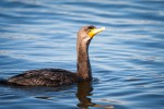 Double crested cormorant on blue water