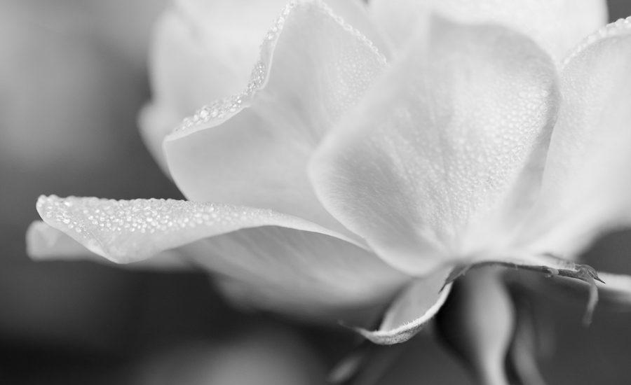 silver monochrome elegant rose