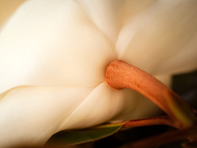 Southern Magnolia Bloom