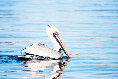 Brown Pelican in baby blue waters.