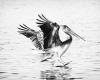 Juvenile Brown Pelican in flight.