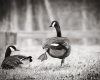 two geese in grass