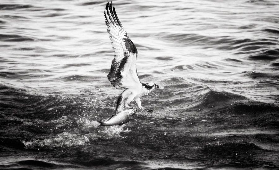 Osprey catch with fish