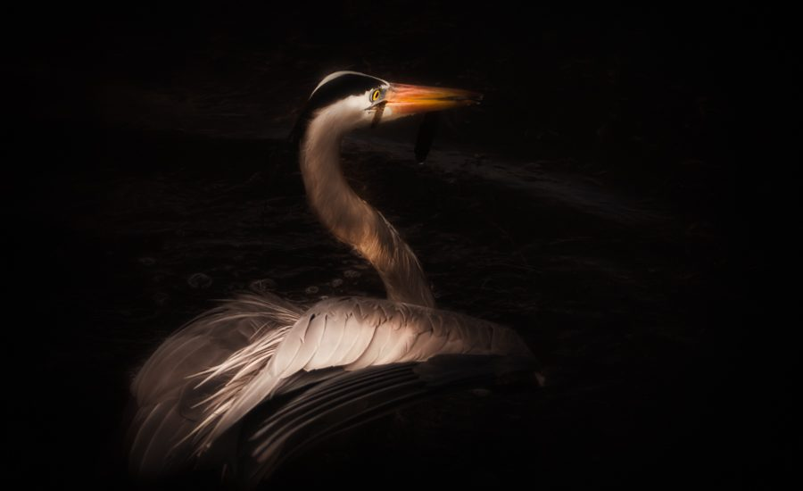 Great Blue Heron in darkness.