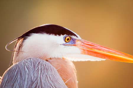 Close up of a Great Blue Heron warmed by the sun.