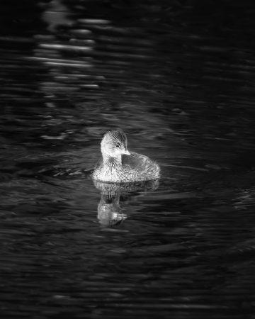 Beautiful little Grebe enjoying a midday swim.