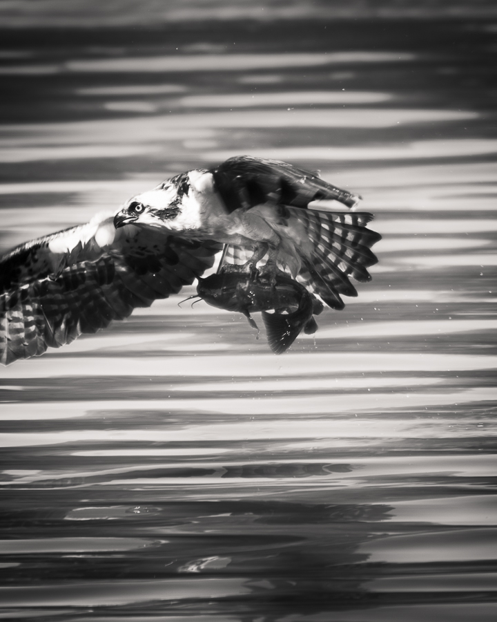 Osprey in flight with the day's catch.