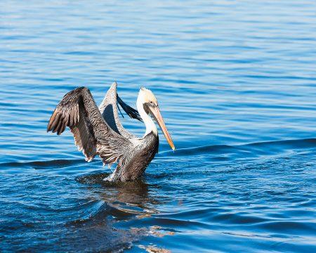 Brown Pelican in blue waters, wings spread while landing.