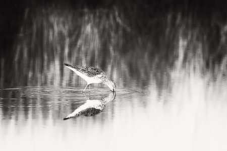 Sandpiper foraging in the shallow water of a small marsh pond.
