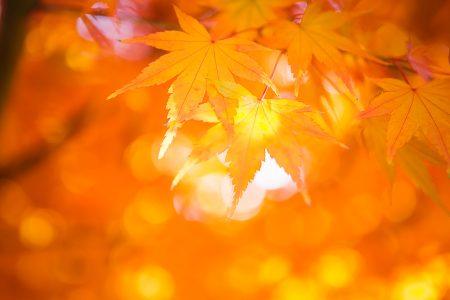 Sun shines through a maple