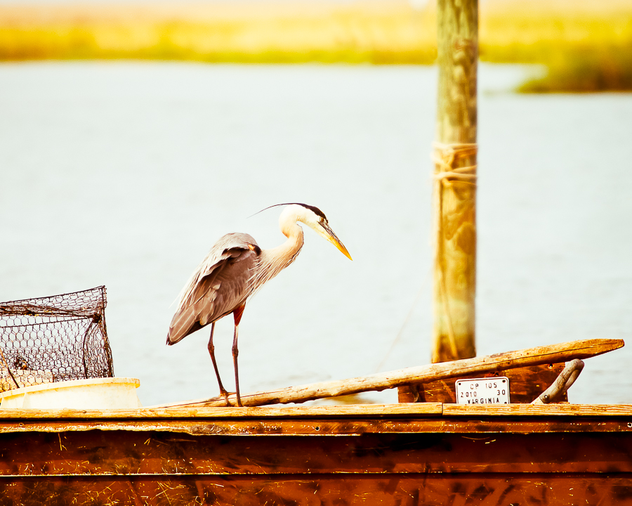 Great Blue Heron rests on the edge of a fishing boat.