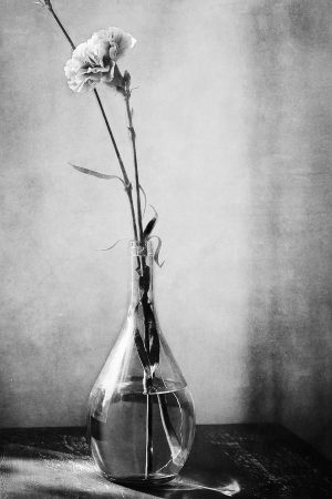 Two carnations graced by window light shimmering through a cracked glass vase.