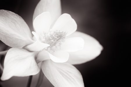 Sepia toned print of a Columbine bloom.