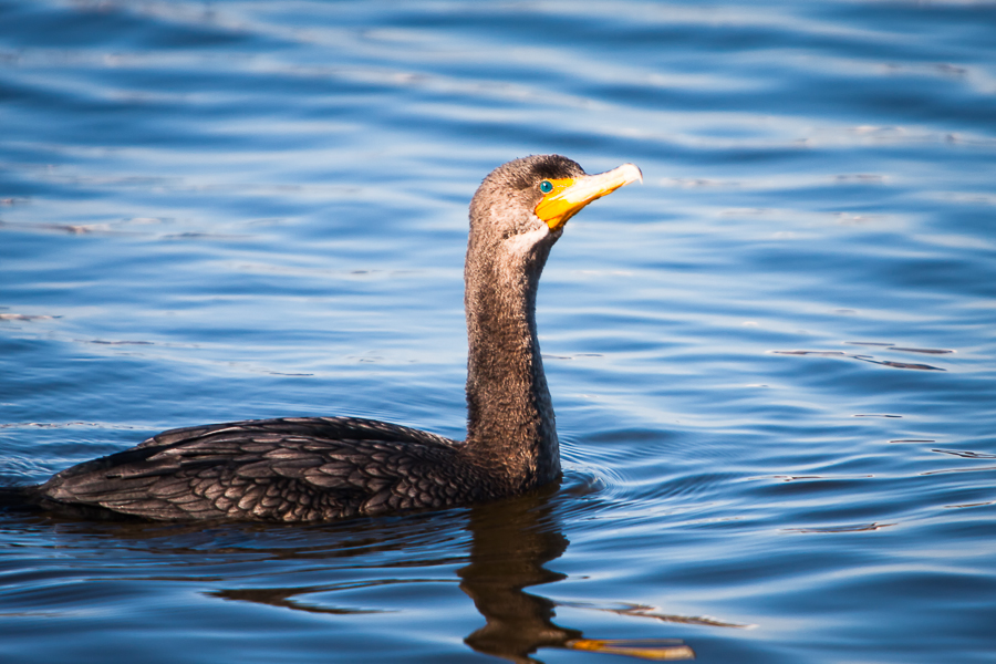 Double-crested Cormorant sunbathing in blue water.
