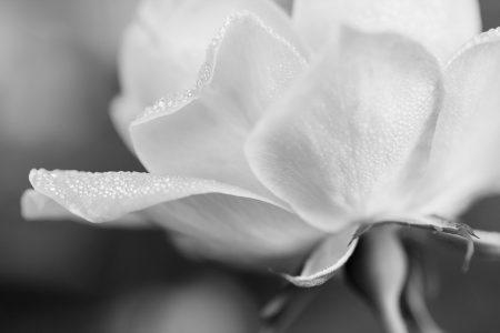 sparkling dew covered rose