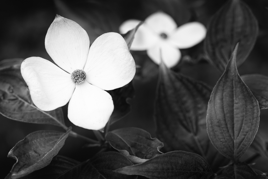 A flowering dogwood presented in black and white.