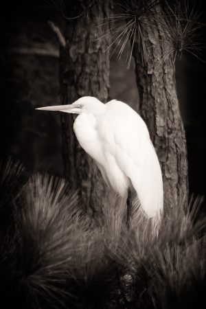 Great White Egret nestled among the branches of an old southern pine.