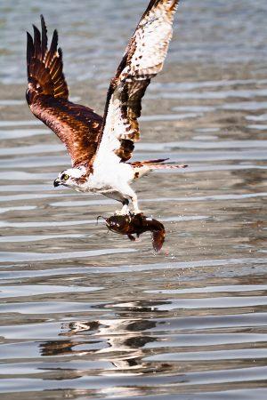 Fresh catch, Osprey with catfish.