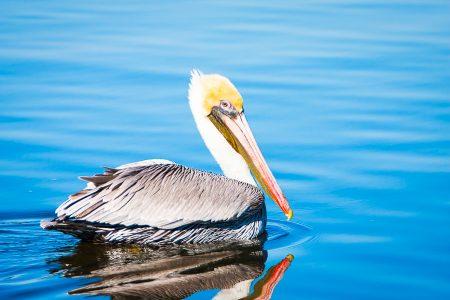 Brown Pelican in brilliant blue waters.