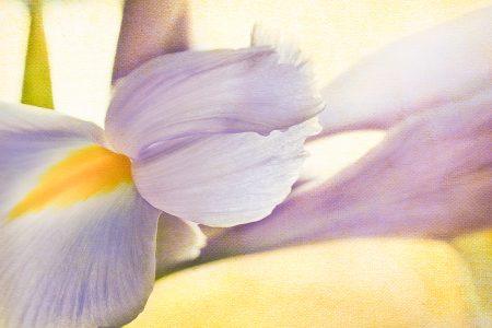 Spring bloom of a purple Iris.