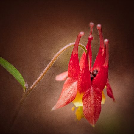 Wild Columbine in bloom with a textured overlay background.