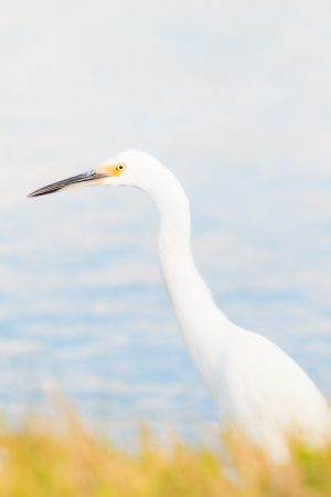 A snowy egret stands alert in shallow water.