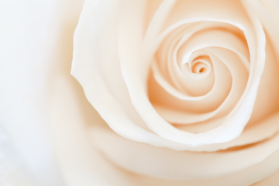 Spiral of a white rose.