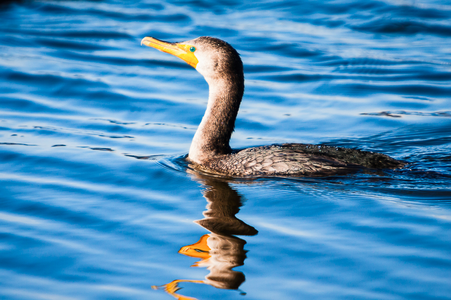 Double-crested Cormorant in the sun.