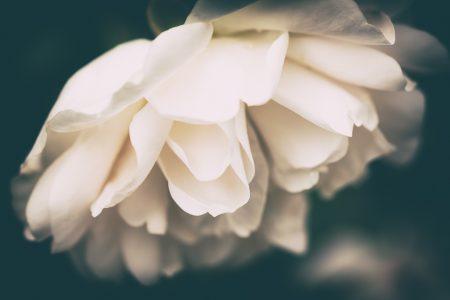 Dark vintage white rose.