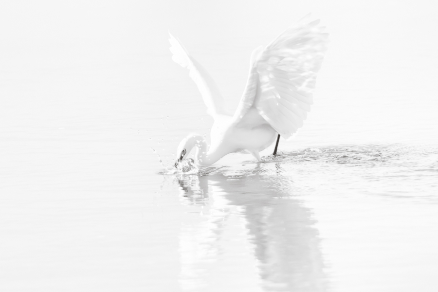 snowy egret with wings spread
