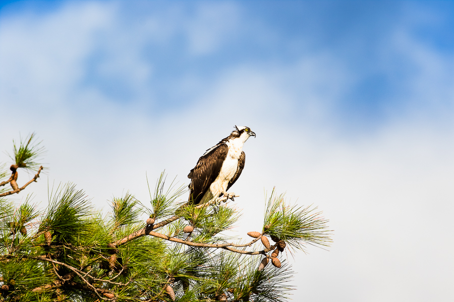Osprey perched high on an old pine tree