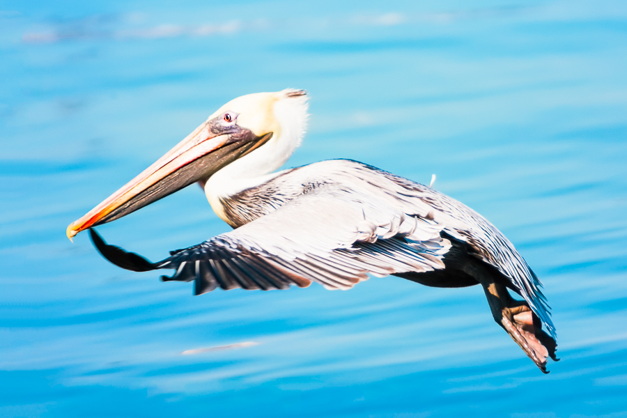 Pelican in flight above blue waters.
