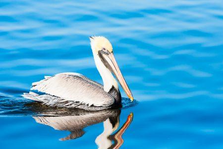 Pelican in Blue Waters