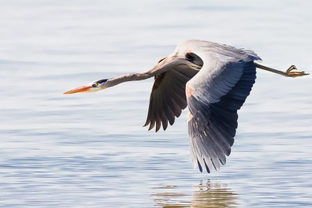 The majestic Great Blue Heron takes flight along the water's edge.