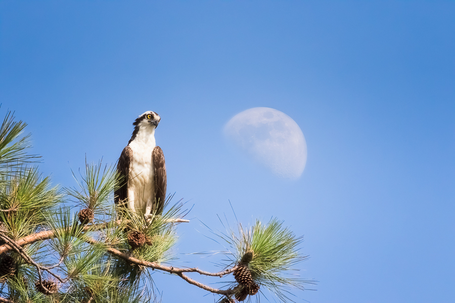 Osprey perched with an early moonrise as background