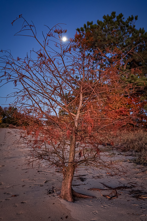 moonlight above a small tree with fall foliage
