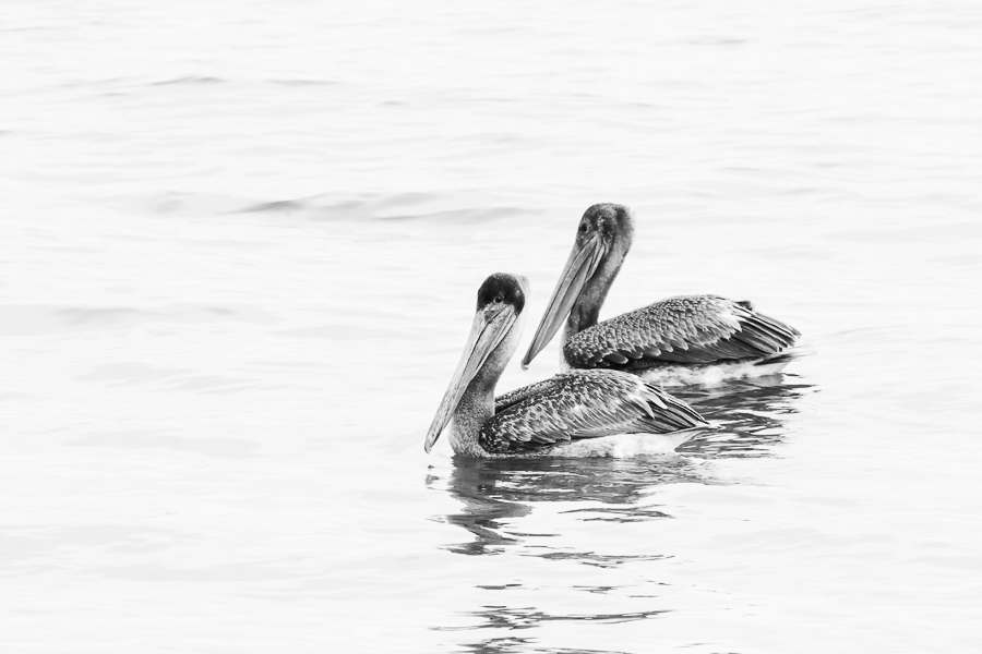 Black and white print of a pair of pelicans