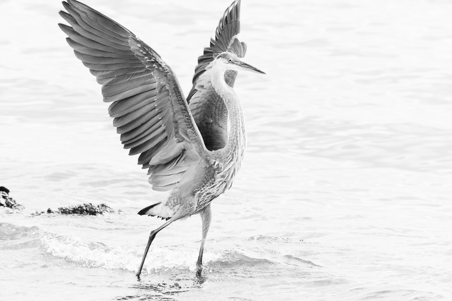 Young Great Blue Heron in black and white