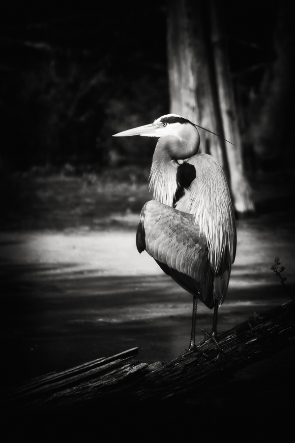 Great Blue Heron black and white print