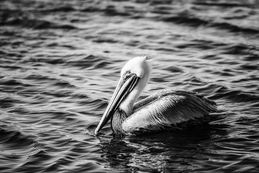 Brown Pelican black and white print