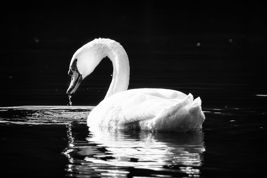 Mute swan black and white print