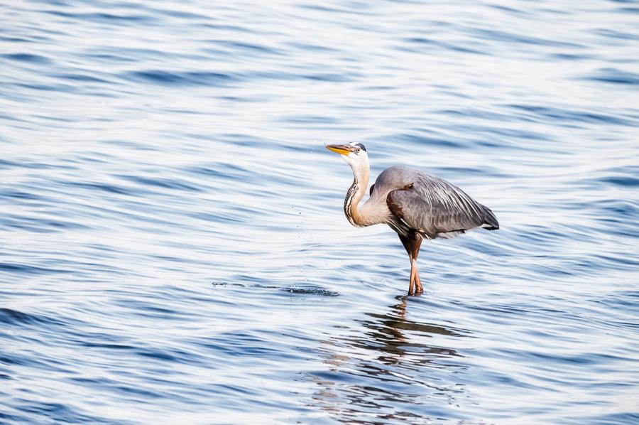 Great Blue Heron wading through open water